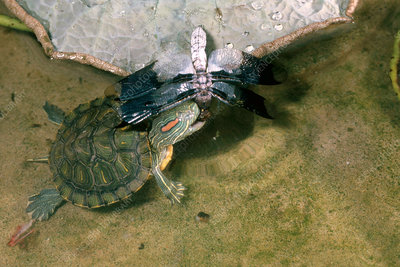 Red-eared Turtle Eating Dragonfly