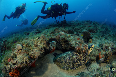 Hawksbill Turtle and Divers