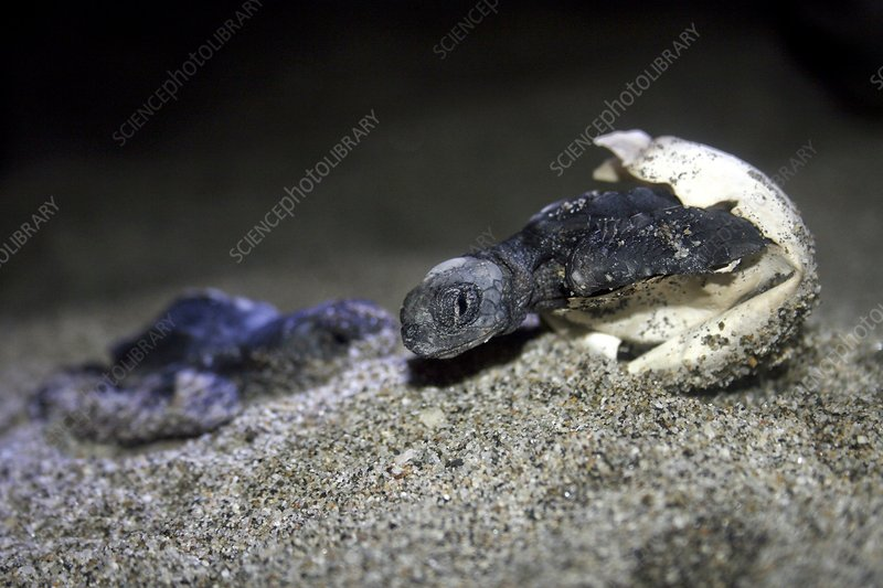 Olive Ridley turtles hatching