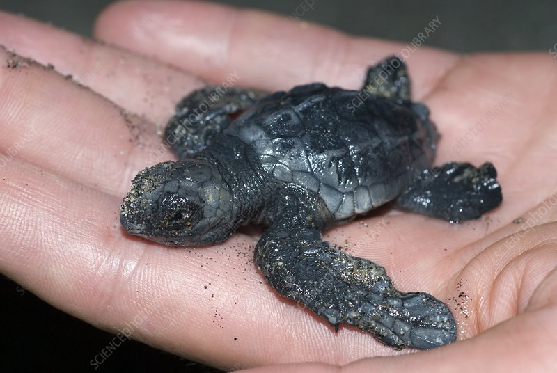 Olive Ridley turtle hatchling on a hand