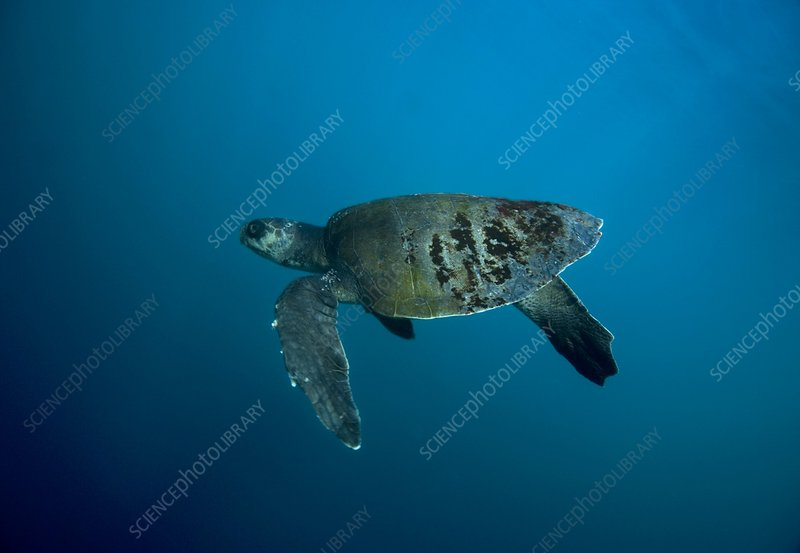 Olive Ridley turtle swimming
