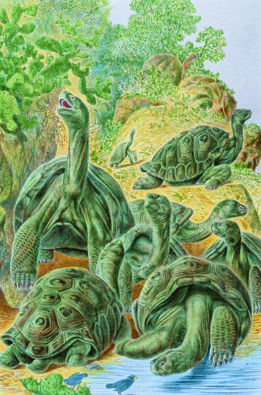 Colour 19 century engraving of Galapagos tortoises