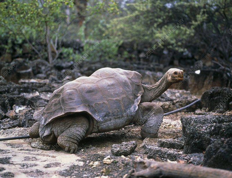 View of a giant Galapagos tortoise, Testudo sp.