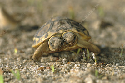 Two-headed tortoise