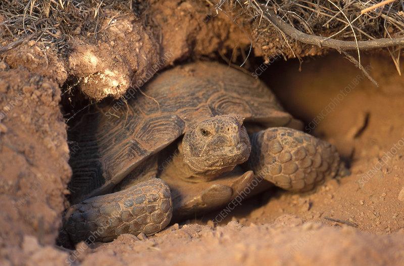 external image Z7550043-Desert_Tortoise,_Utah-SPL.jpg