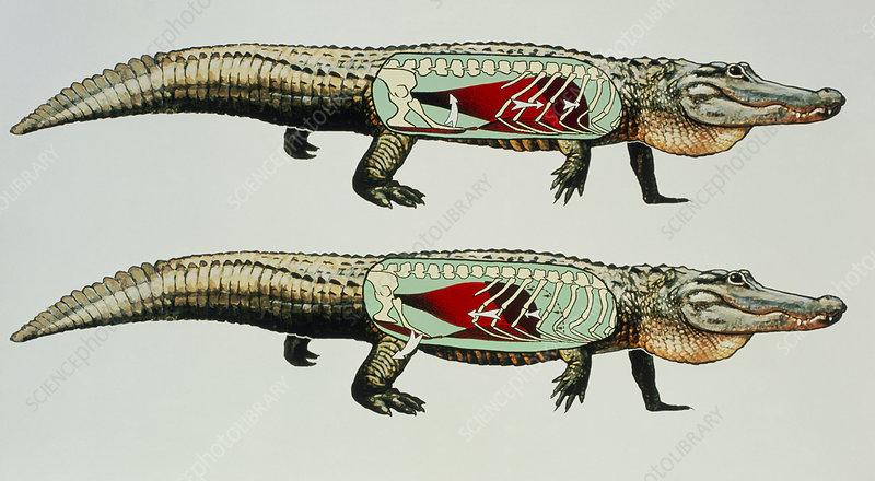 Alligator breathing action