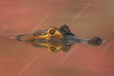 Spectacled caiman in water