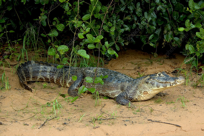 'Caiman in the Pantanal, Brazil'