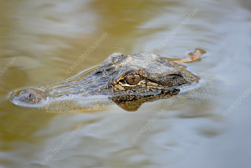 American alligator hunting