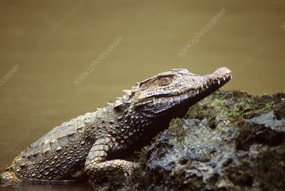 White Caiman Crocodile