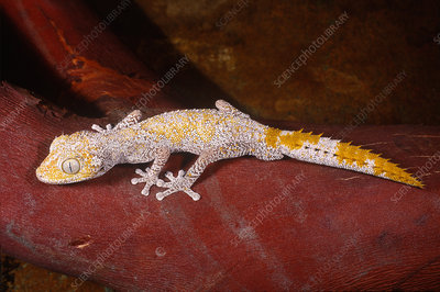 Spiny Tailed Gecko (Diplodactylus sp.)