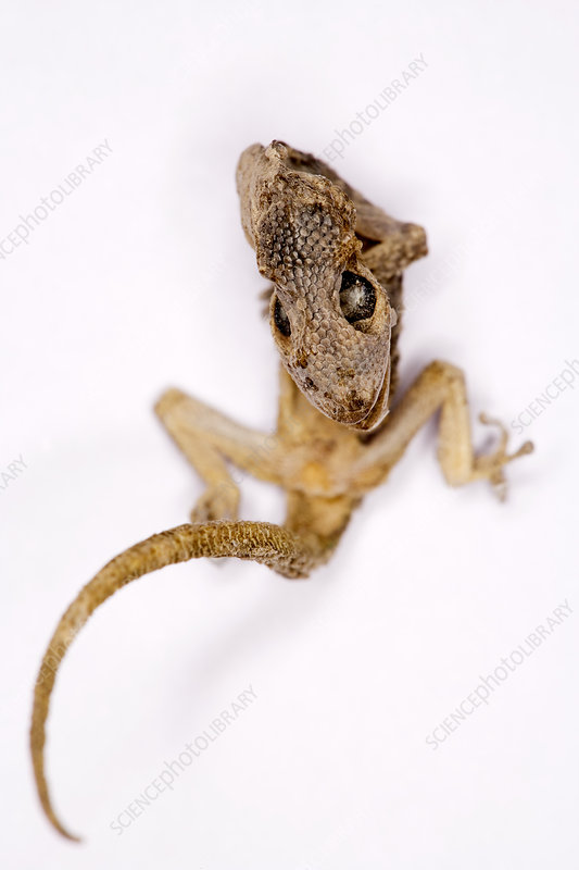 Desicated gecko