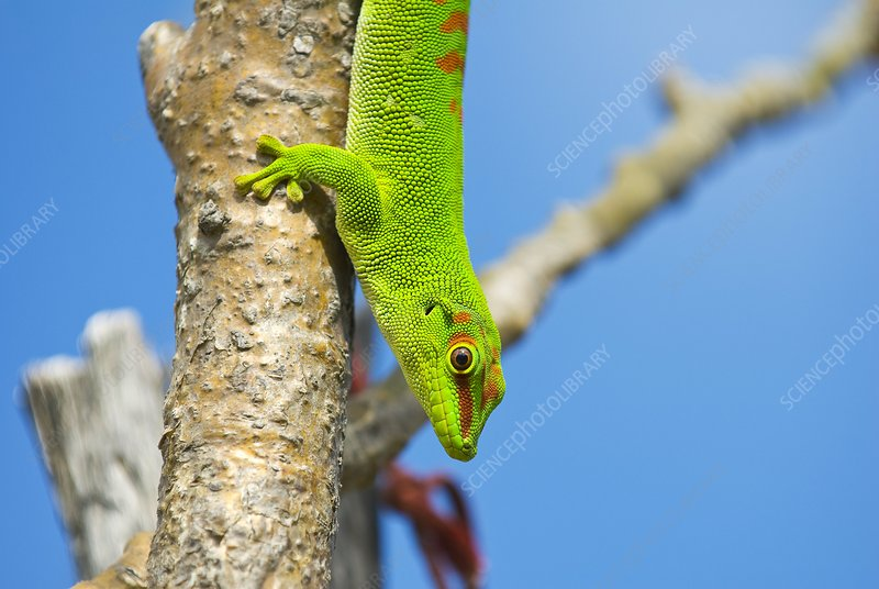 Madagascar giant day gecko on a tree