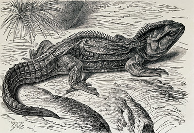 Engraving of tuatara