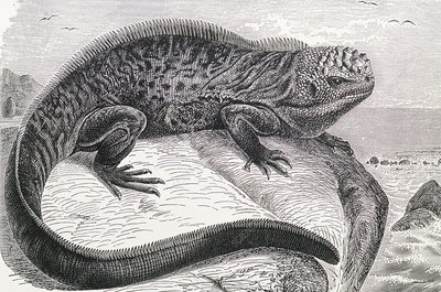 1896 engraving of Galapagos sea lizard