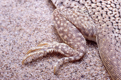 Foot of Fringe-toed lizard