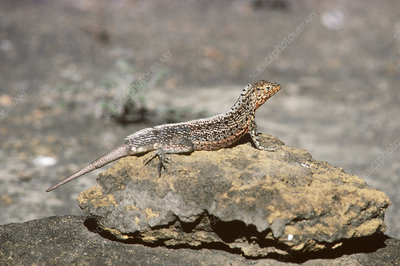 Male Lava Lizard with regenerated tail