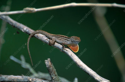 Anole Courtship Display