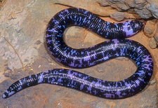Speckled Worm Lizard