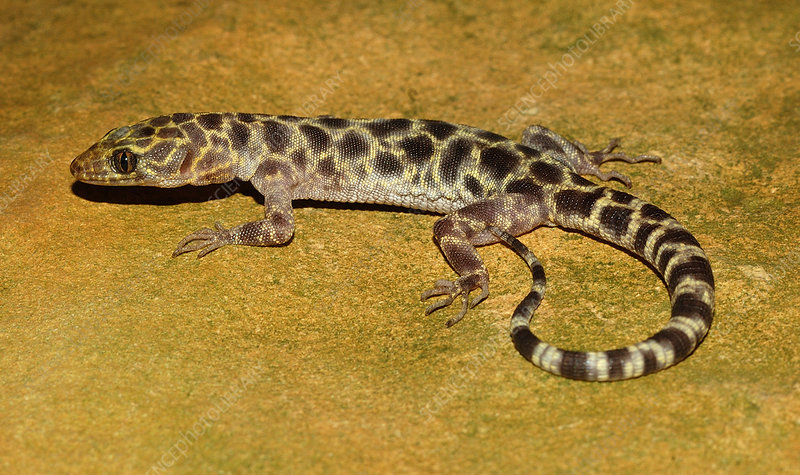 Granite Night Lizard (Xantusia henshawi)