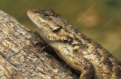 Fence Lizard with Black-legged Tick