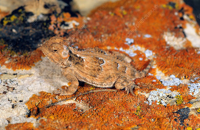 Mountain Short-horned Lizard