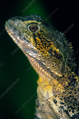 Water Dragon (Physignathus lesueurii)