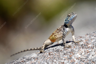 Male southern rock agama
