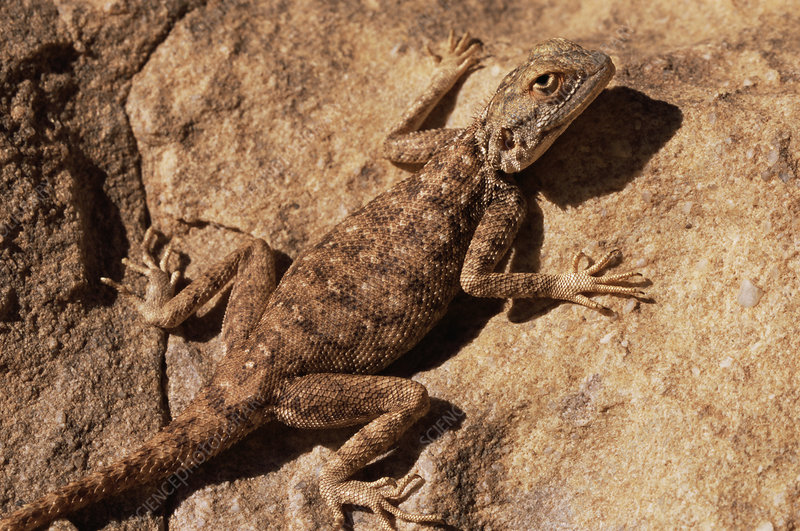 Agamid lizard