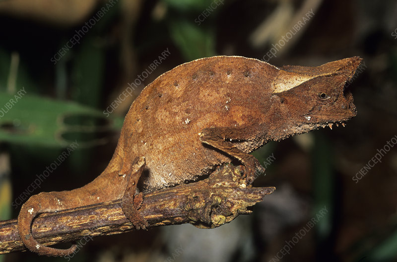 Horned leaf chameleon