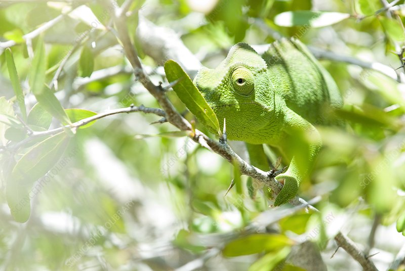 Flap-necked chameleon in a tree