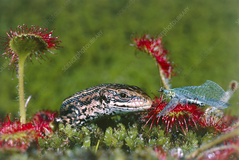 Lizard stealing lacewing prey from a sundew plant