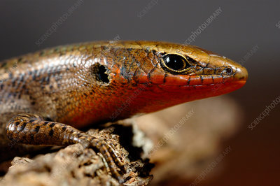 Red-throated Skink in breeding colours