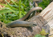 Adult slow worm