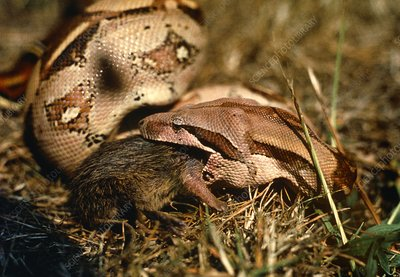 Boa constrictor swallowing rat