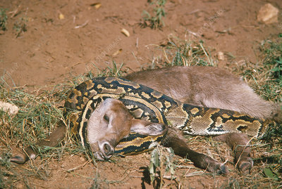Python killing a young waterbuck