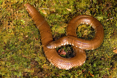 Red-tailed Pipesnake (Cylindrophis rufus)
