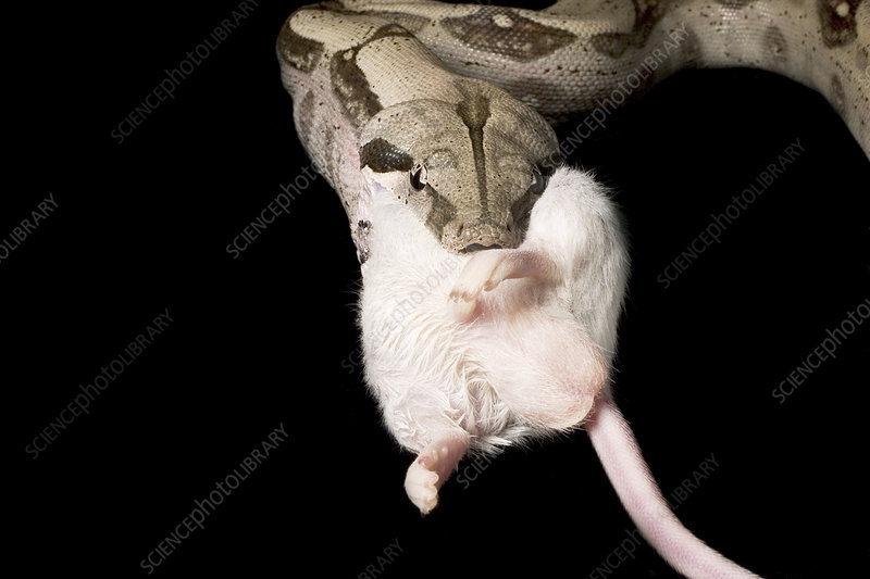 Red-tail boa constrictor eating a mouse