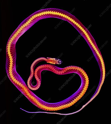 Coloured X-ray of a corn snake, Elaphe guttata