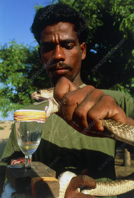 Researcher milking a snake for its venom