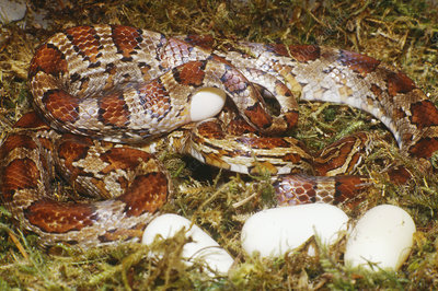 Corn Snake (Elaphe guttata) laying eggs