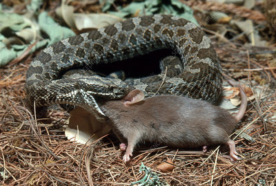 Rattlesnake with Prey