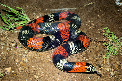 Tricolored Hognose Snake
