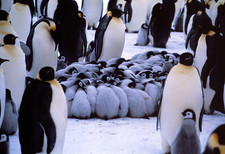 Emperor penguin chicks huddling