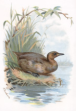 Little grebe, historical artwork