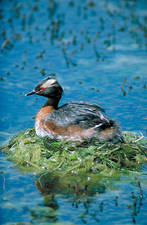 Horned grebe on its nest