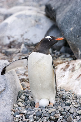 Gentoo penguin and egg