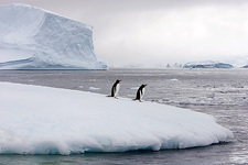 Gentoo penguins