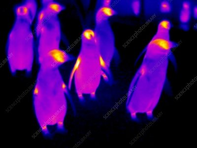 Penguins, thermogram