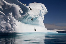 Adelie penguins diving into the sea